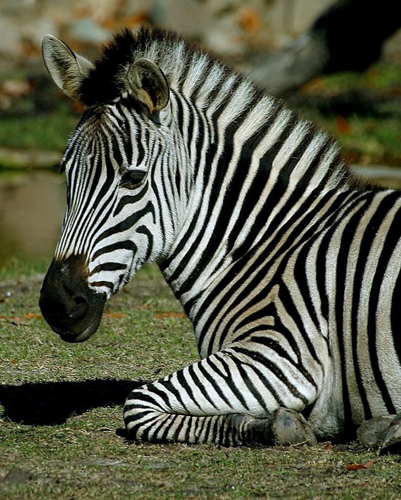 mammals zoo zebra virginia bbc