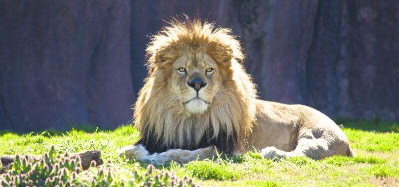 Mramba, king of the Virginia Zoo (Virginia Zoo photo by Cedrick Garrett).