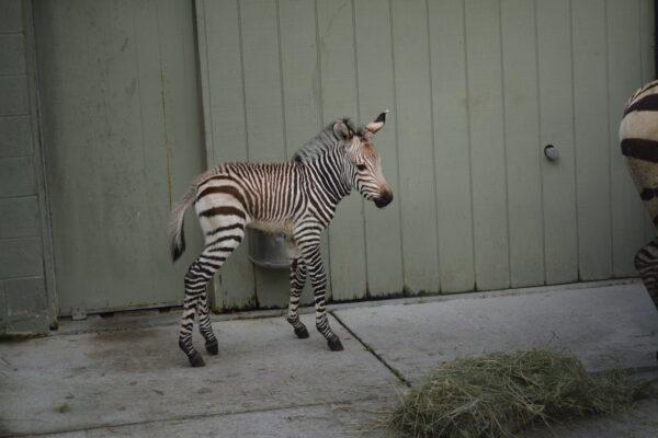 more zebra foal april 2015 076 (2)