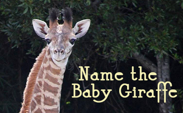 virginia zoo giraffe naming contest