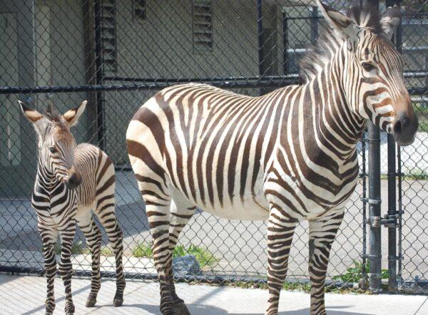 zebra at the Virginia Zoo.