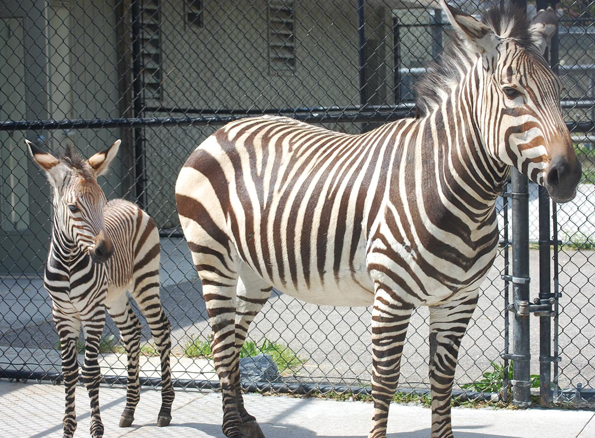 map directions app with Virginia Zoo Wel Es Baby Zebra on The Free IPhone App Turns Entire WINDSCREEN Sat Nav Device furthermore Francisella Tularensis likewise Login further Coloo Rock furthermore 1216.
