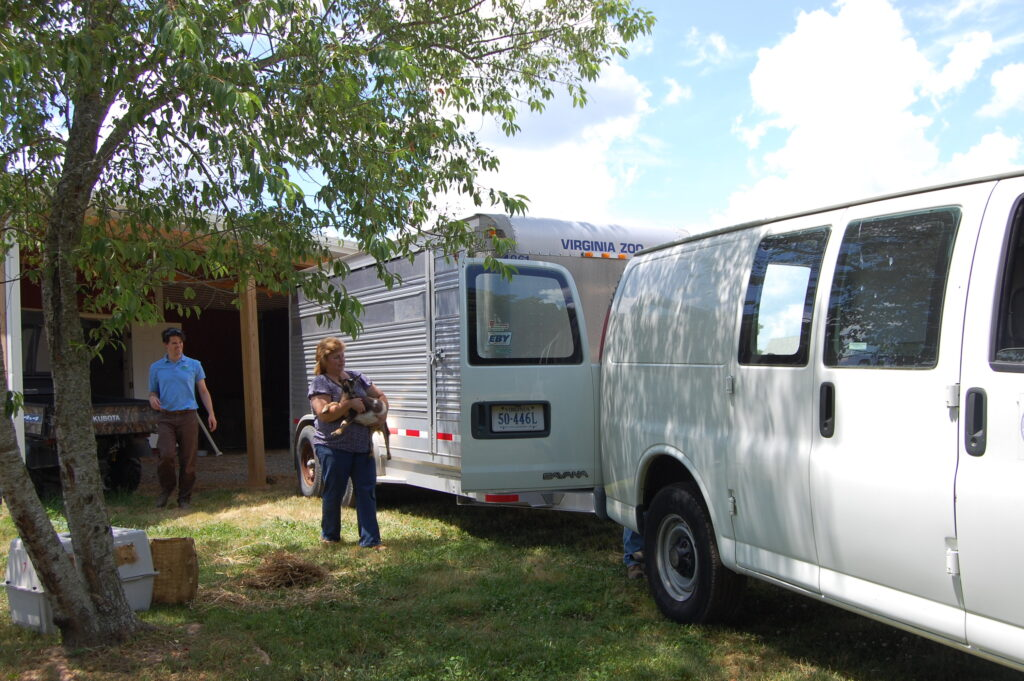 Lisa, one of the owners of Country Charm Farm, helps load up up goats for their trip to the Zoo.