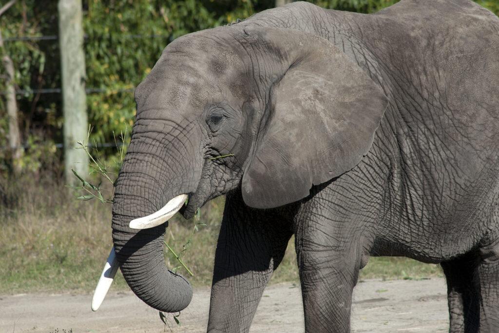 Virginia Zoo Elephant