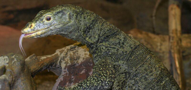 Gray's Monitor Lizard at Los Angeles Zoo, photo by Ian Recchio