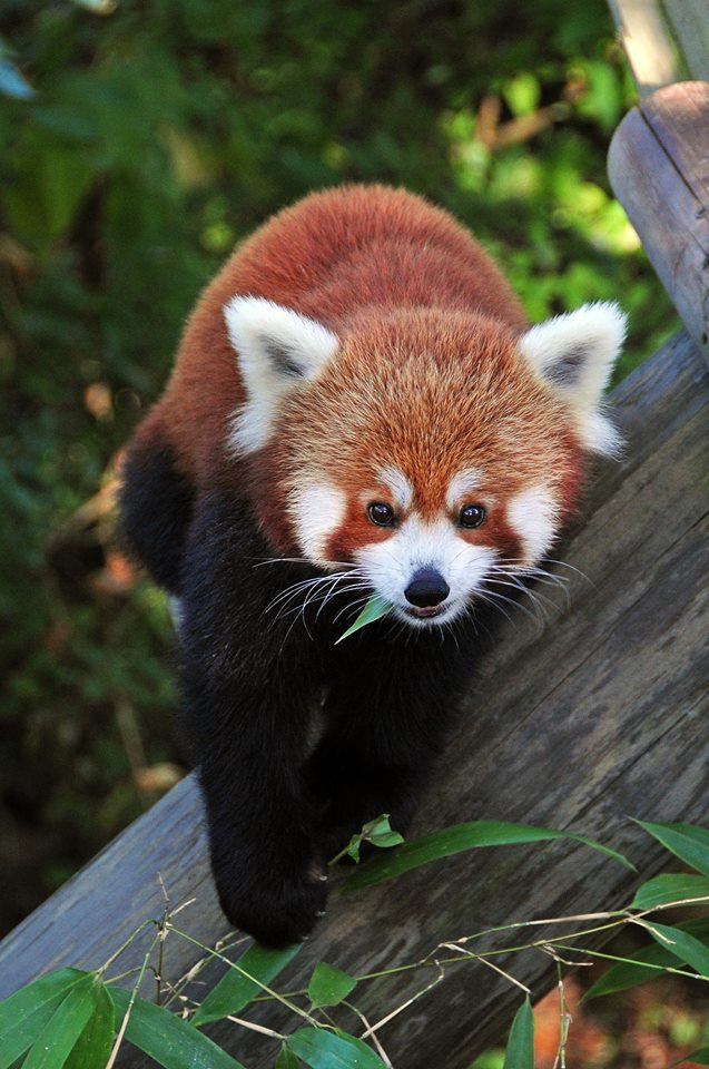 Legacy Panda