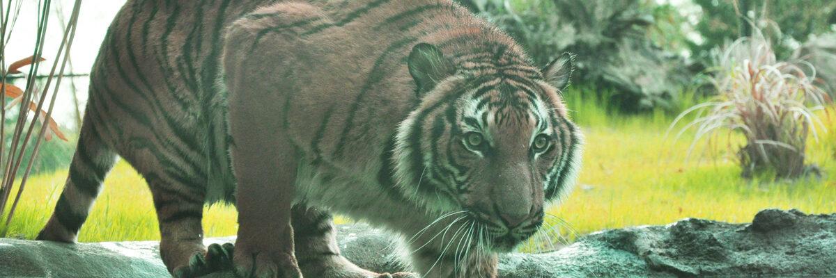tiger-at-pool