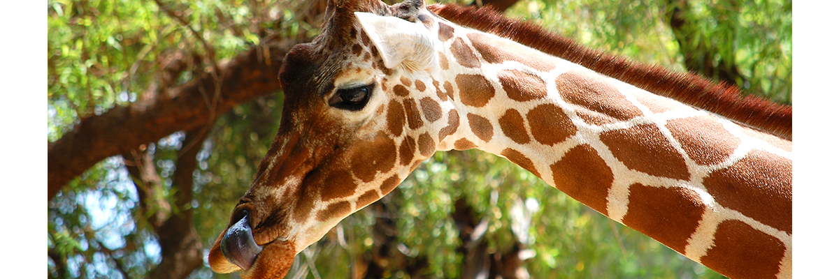reticulated-giraffe VA Zoo