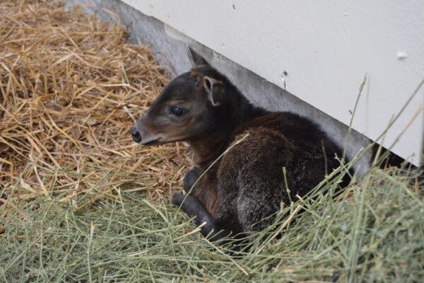Virginia Zoo Baby Diker 1