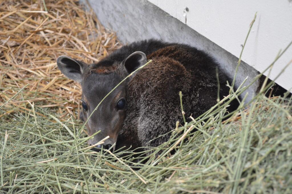 Virginia Zoo Baby Diker 2