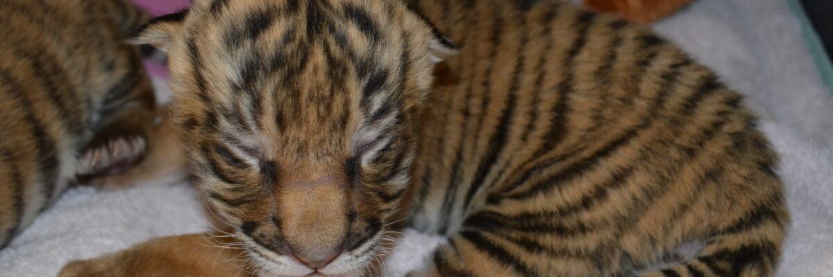 tiger cubs 4 017