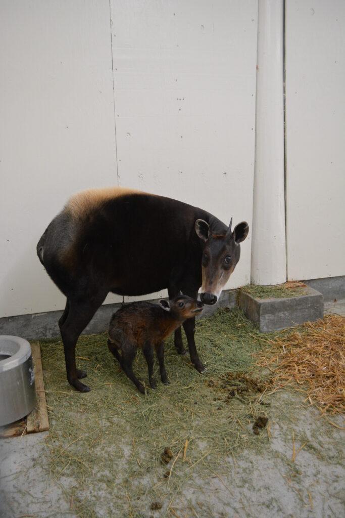 virginia zoo baby diker and mom Dot