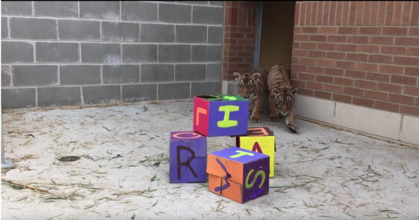tiger letters