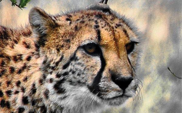 VAZOO_Cheetah Apprecation button