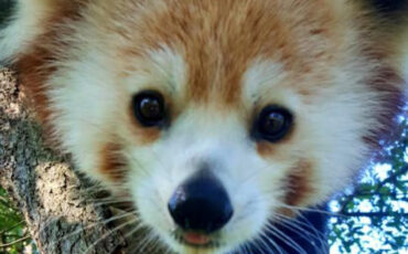 VAZOO_Red Panda Day_button