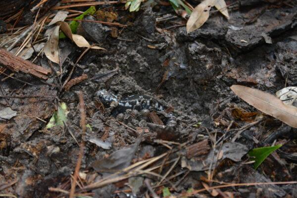 oct-2016-salamanders-192