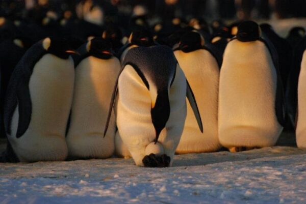 Father Emperor penguins huddle together while keeping their eggs warm