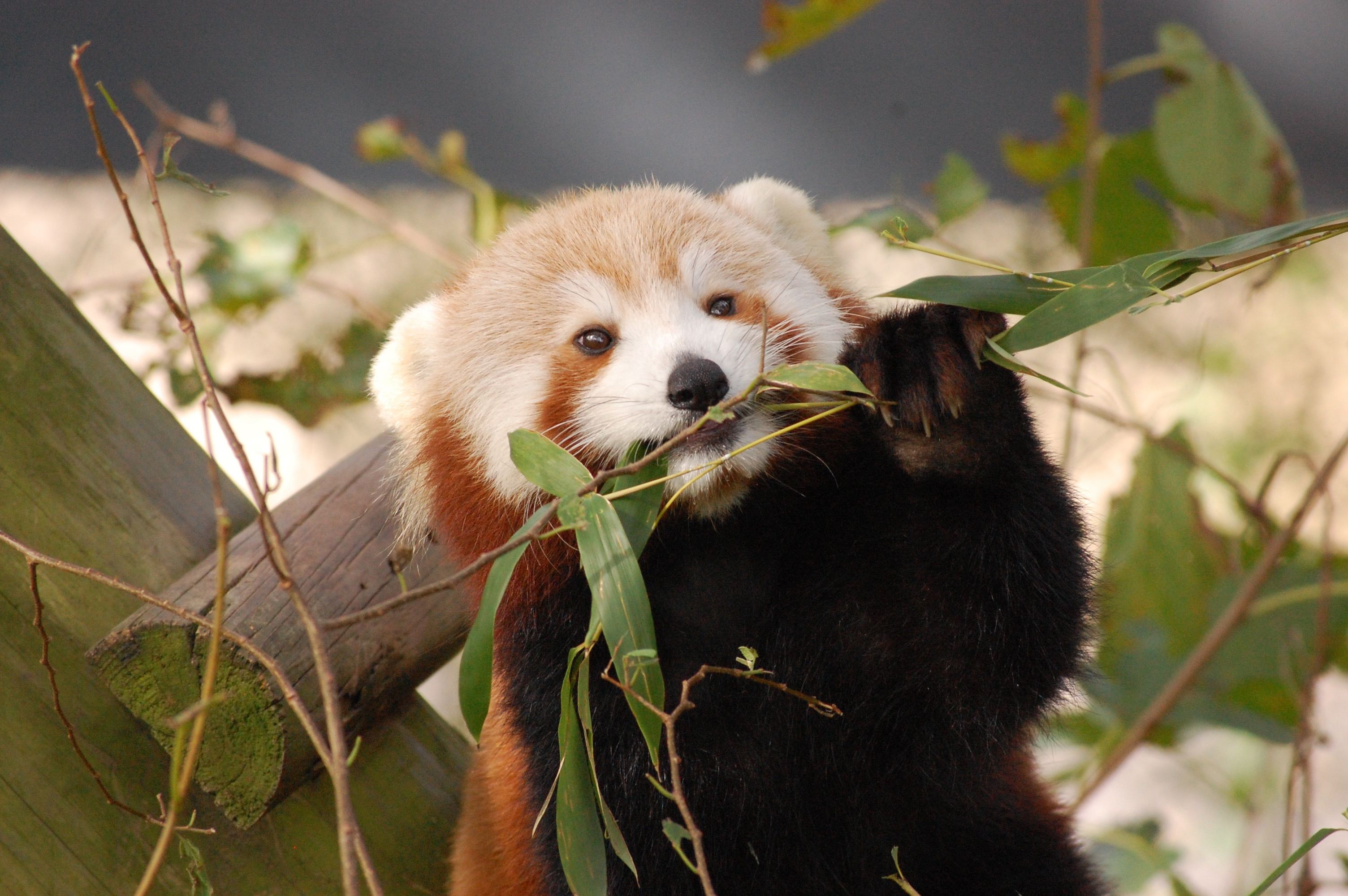 Virginia Zoo Red Panda Is Missing From Habitat Virginia