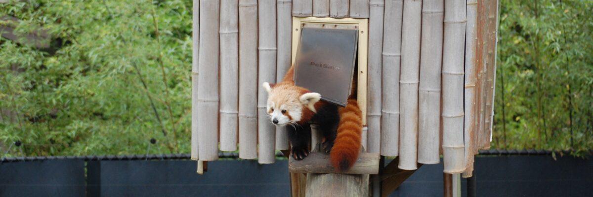 red pandas habitat