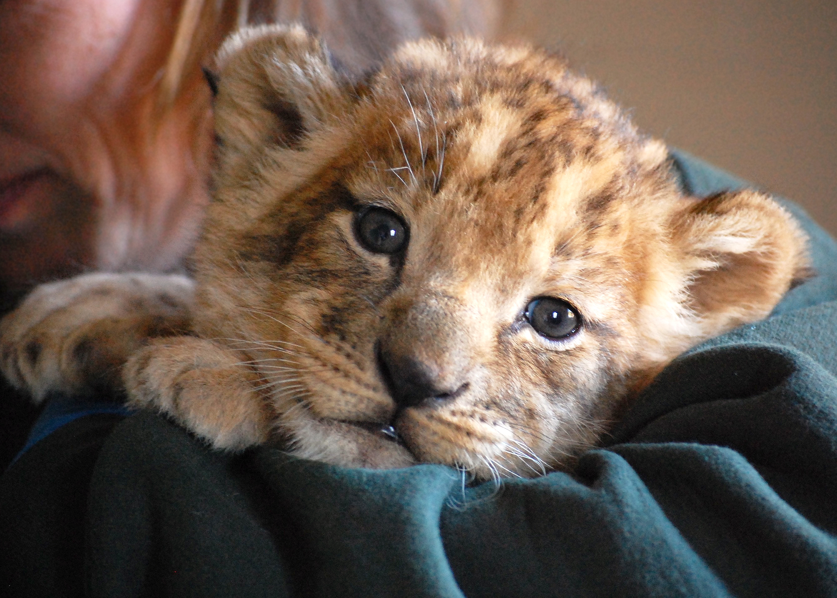 no lion the zoo has a new cub virginia zoo in norfolk