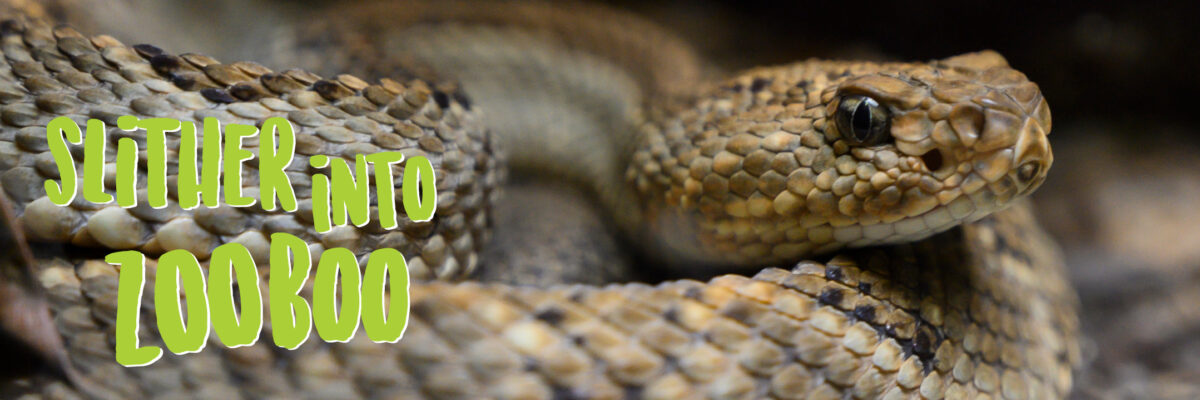 slither into ZooBoo graphic image with coiled Aruba island rattlensnake