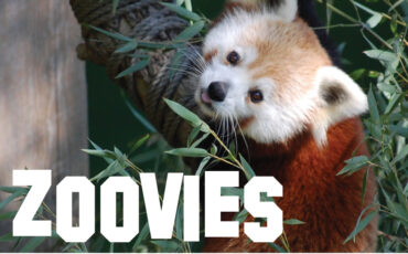 zoovies graphic with red panda
