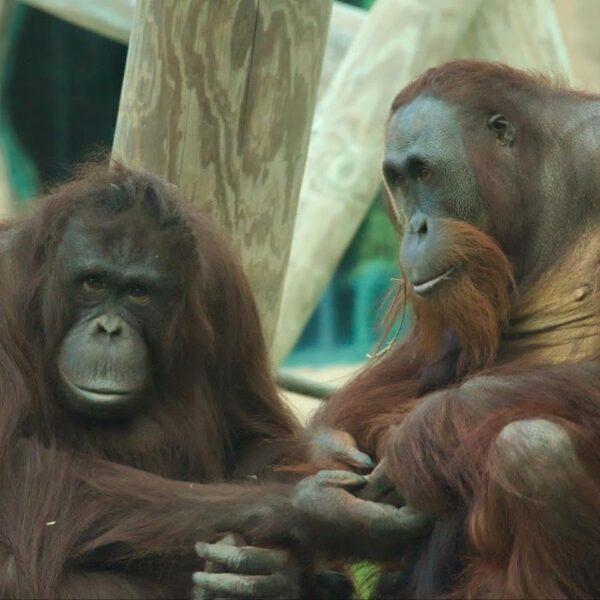 Zoo Orangutan is Pregnant - Virginia Zoo in Norfolk