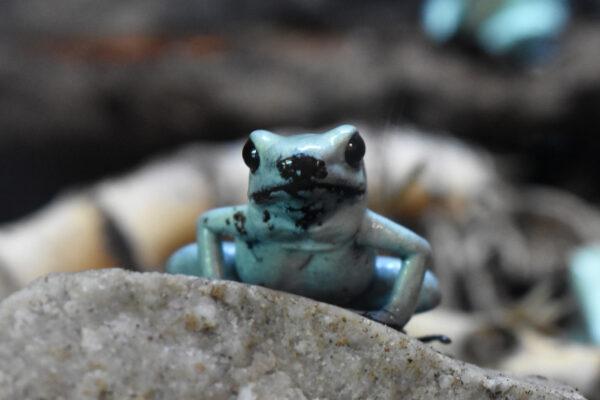 mint golden dart frog sitting on rock