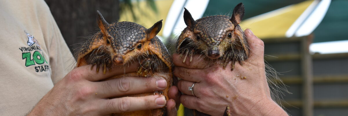 Two armadillos being held in hand side by side