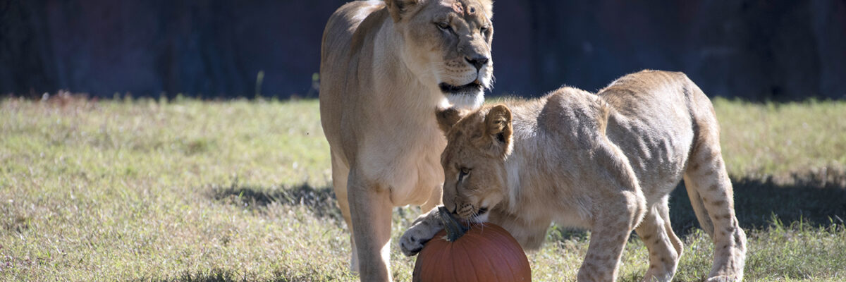 Lioness stands over male cub playing with pumpkin