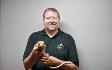 male zoo keeper smile and holds prehensile-tailed skink in both hands