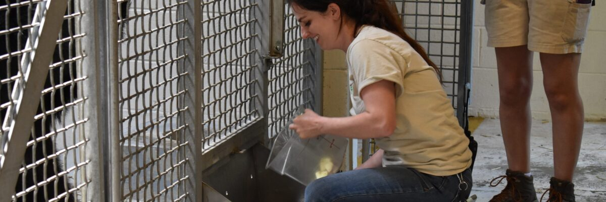 woman zoo keeper uses special feeder for bear