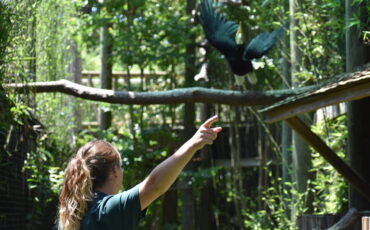 Zoo Keeper commands Rhino hornbill to fly to branch