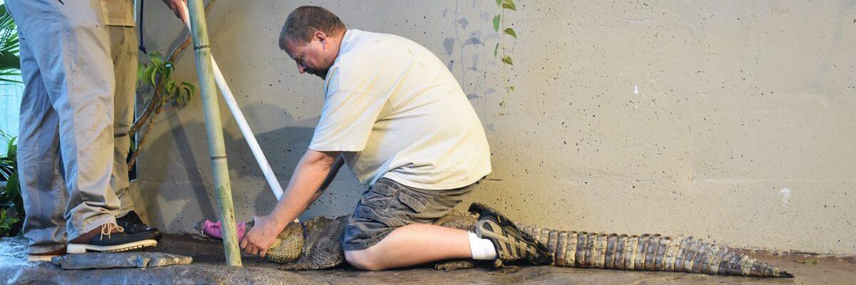 Zoo keeper handles new crocodile