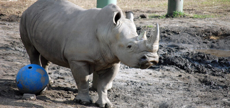 adult rhinoceros stands in mud next to giant blue ball