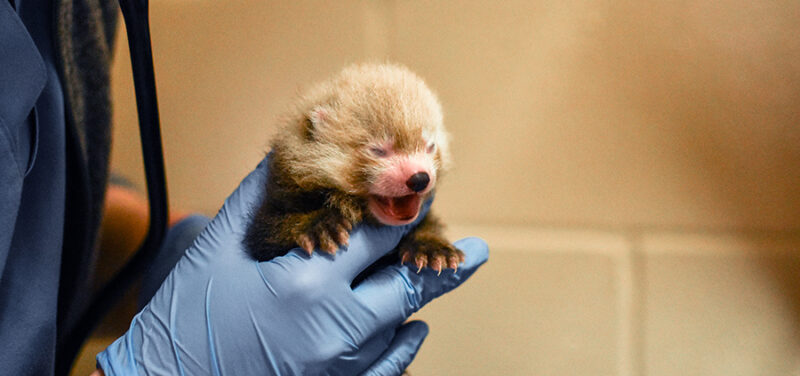 person with blue gloves holds screaming red panda cub in hands