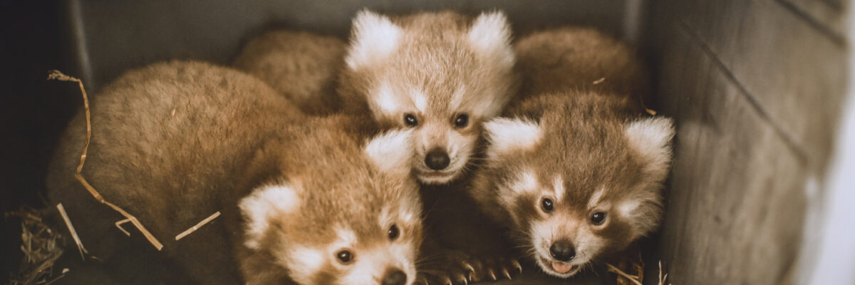 three two-month-old red panda cubs