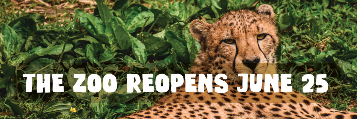 now open graphic with cheetah