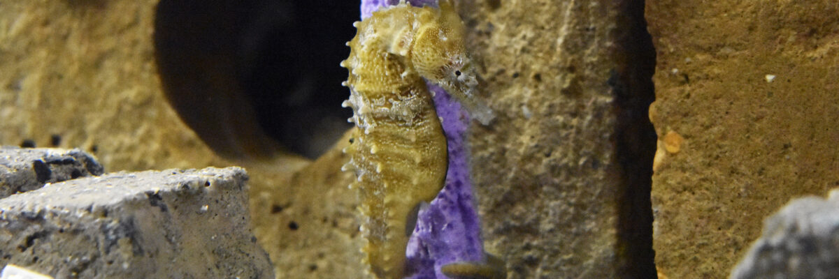 seahorse holding onto coral