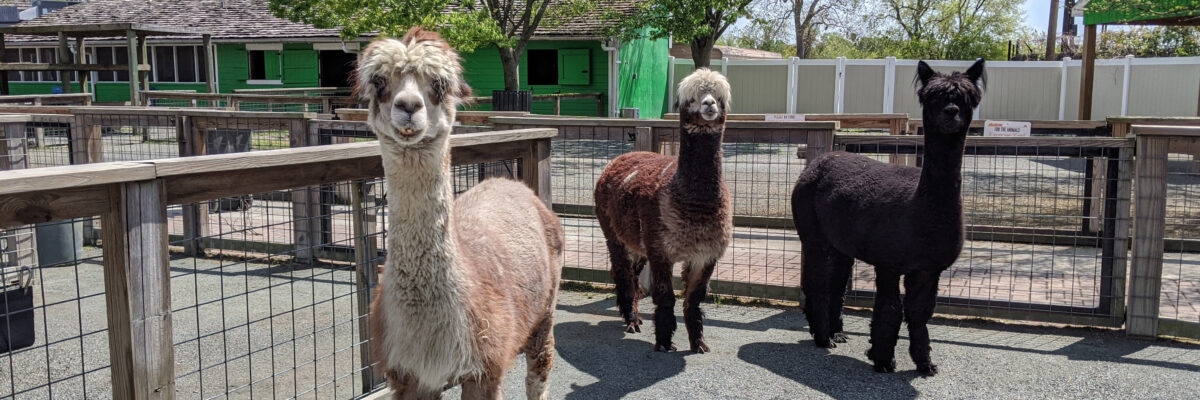 three alpacas standing
