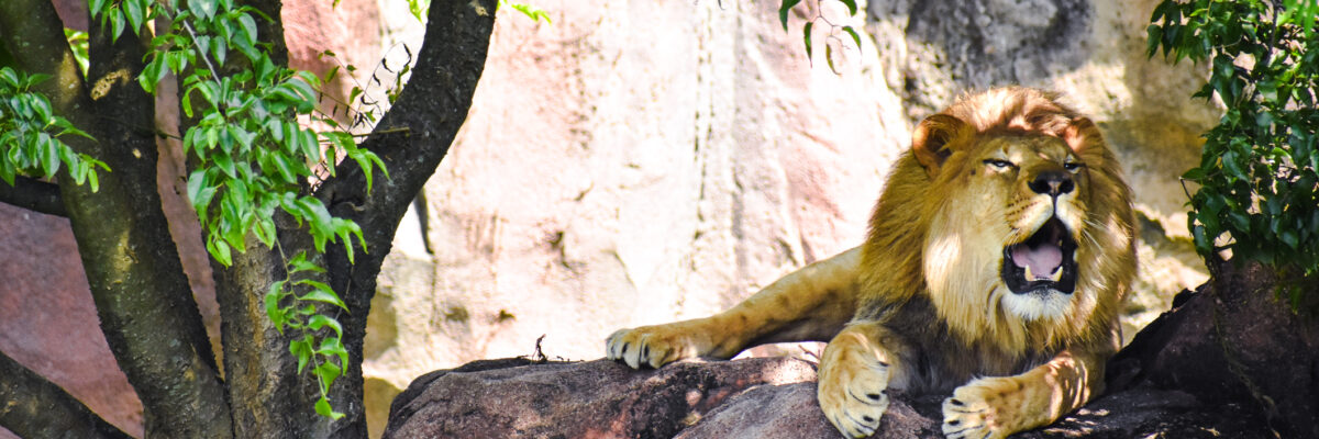 lion roars while laying on shaded rock