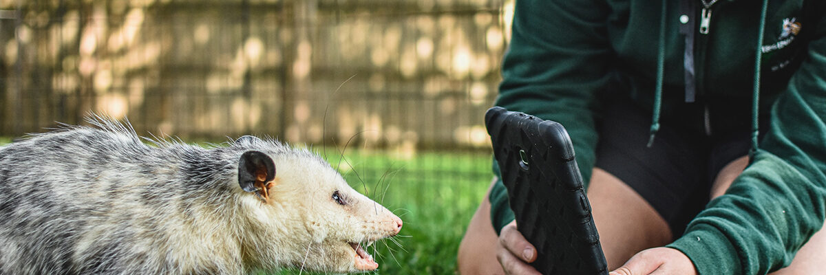 Virtual Program with an Opossum and Zoo Keeper