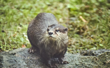 wet otter on rock