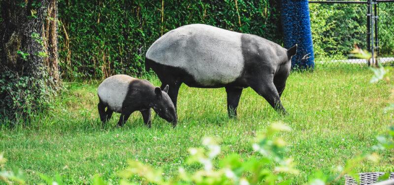 Malayan tapir and calf walking through grass