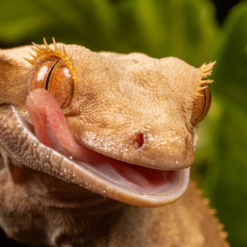 New Caledonian Giant Gecko smiling at the Virginia Zoo