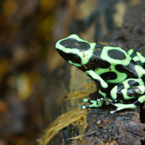 Green and Black Dart Frog at the Virginia Zoo.