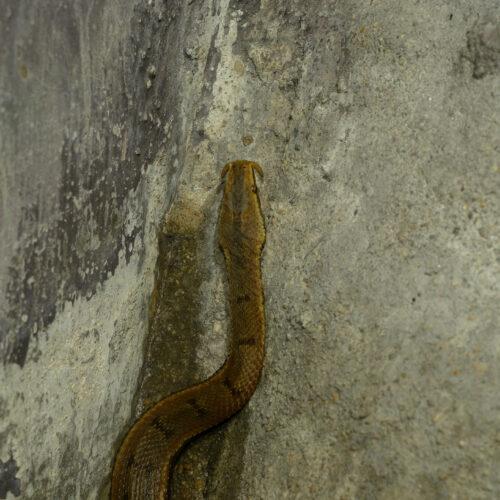 Tentacled Snake