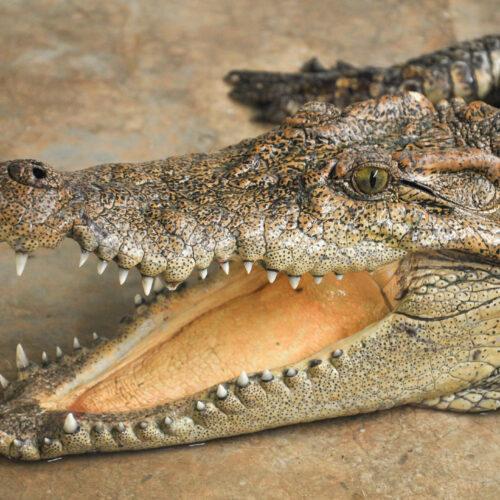 Siamese crocodile shows his chops at the Virginia Zoo