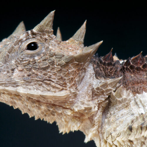 Giant Horned Lizard at the Virginia Zoo
