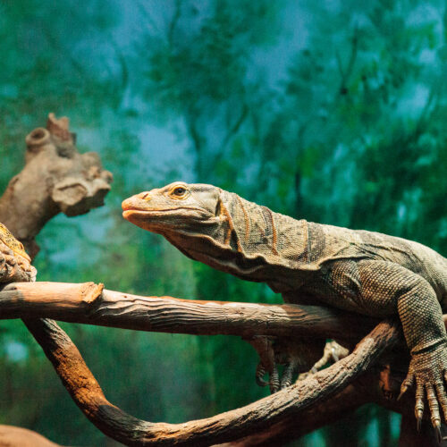 A Gray's Monitor Lizard at the Virginia Zoo